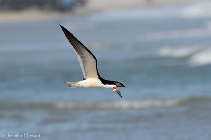 Black Skimmer, North Carolina