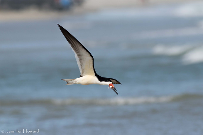 Black Skimmer, North Carolina