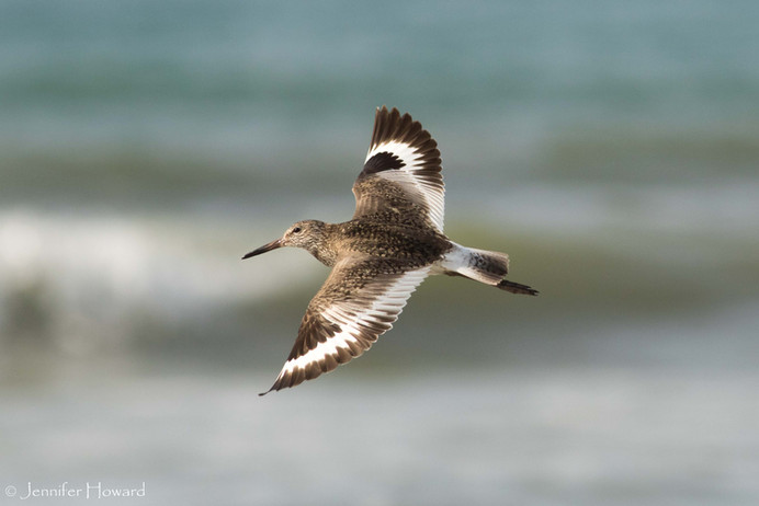 Flying Willet, North Carolina