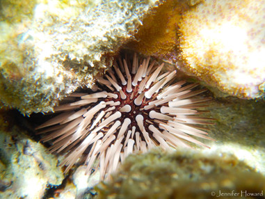 Rock-Boring Urchin, Johnston Atoll