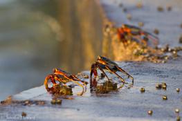 Sally Lightfoot Crabs, Johnston Atoll
