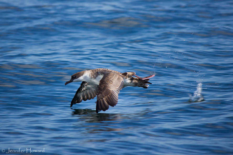 Flying Great Shearwater, Maine