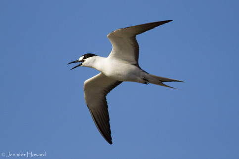 Flying Sooty Tern, Johnston Atoll