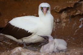 Yawning Nazca Booby Chick, Isla Española