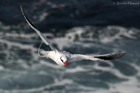Flying Red-Billed Tropicbird, Isla Española