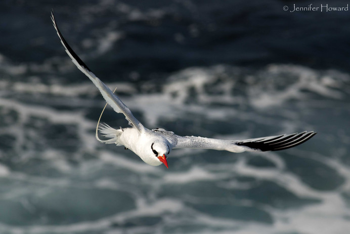 Flying Red-Billed Tropicbird, Isla Española