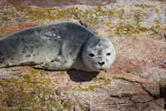 Harbor Seal, Maine