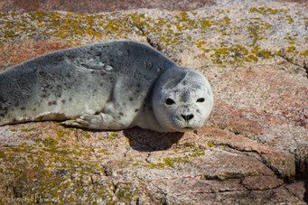 Harbor Seal, Maine