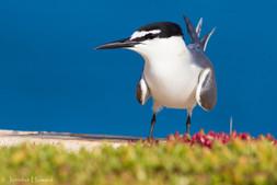 Grey-Backed Tern, Johnston Atoll