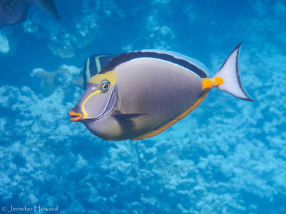 Orangespine Unicornfish, Johnston Atoll