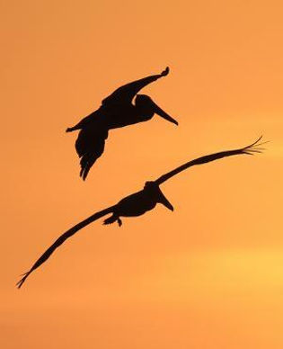 Silhouettes of two brown pelicans flying at sunset