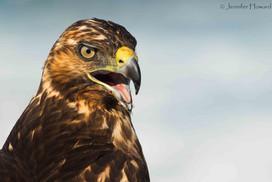 Juvenile Galápagos Hawk, Isla Española
