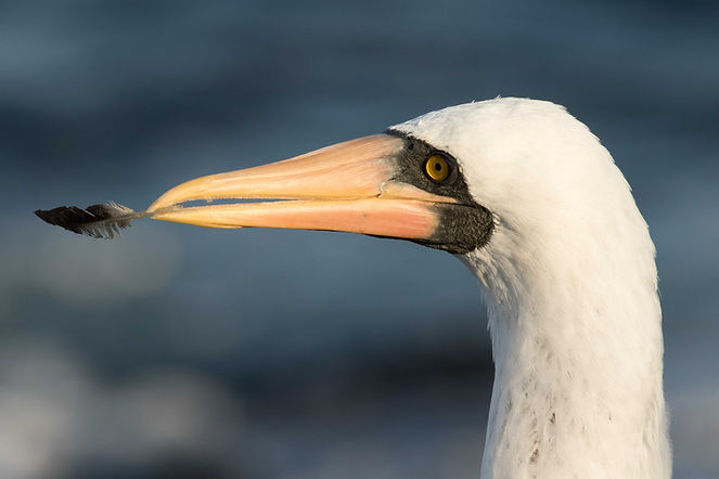 Nazca booby holding a feather in its bill