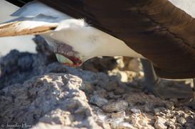 Egg Labor, Isla Española