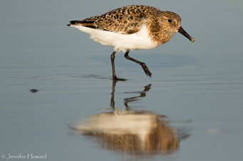 Semipalmated Sandpiper, North Carolina