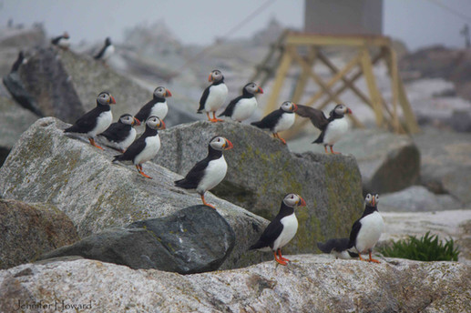 Palooza of Atlantic Puffins, Maine