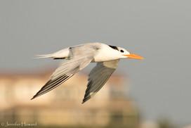 Flying Royal Tern