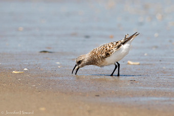 Foraging Semipalmated Sandpiper, North Carolina