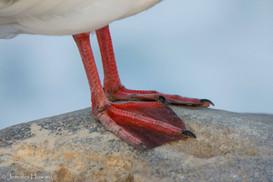 Swallow-Tailed Gull Feet, Isla Española