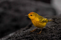 Male Yellow Warbler, Isla Española