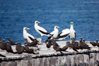 Masked Boobies, Johnston Atoll