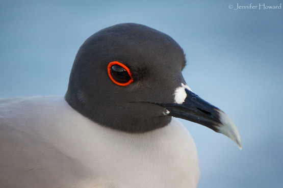 Swallow-Tailed Gull, Isla Española
