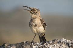Galápagos Mockingbird, Isla Española