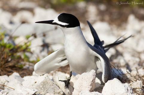 Dancing Sooty Tern, Johnston Atoll