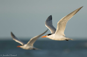 Royal Tern Pair, North Carolina