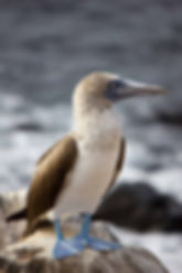 Blue-footed booby standing on a rock