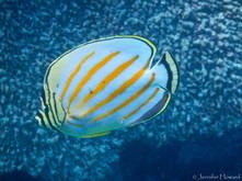 Ornate Butterflyfish, Johnston Atoll