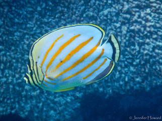 Ornate Butterflyfish, Johnston Atoll