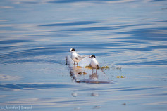 Juvenile Terns, Maine