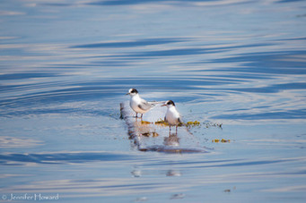 Juvenile Terns, Maine