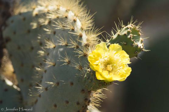 Opuntia Cactus, Isla Santa Cruz