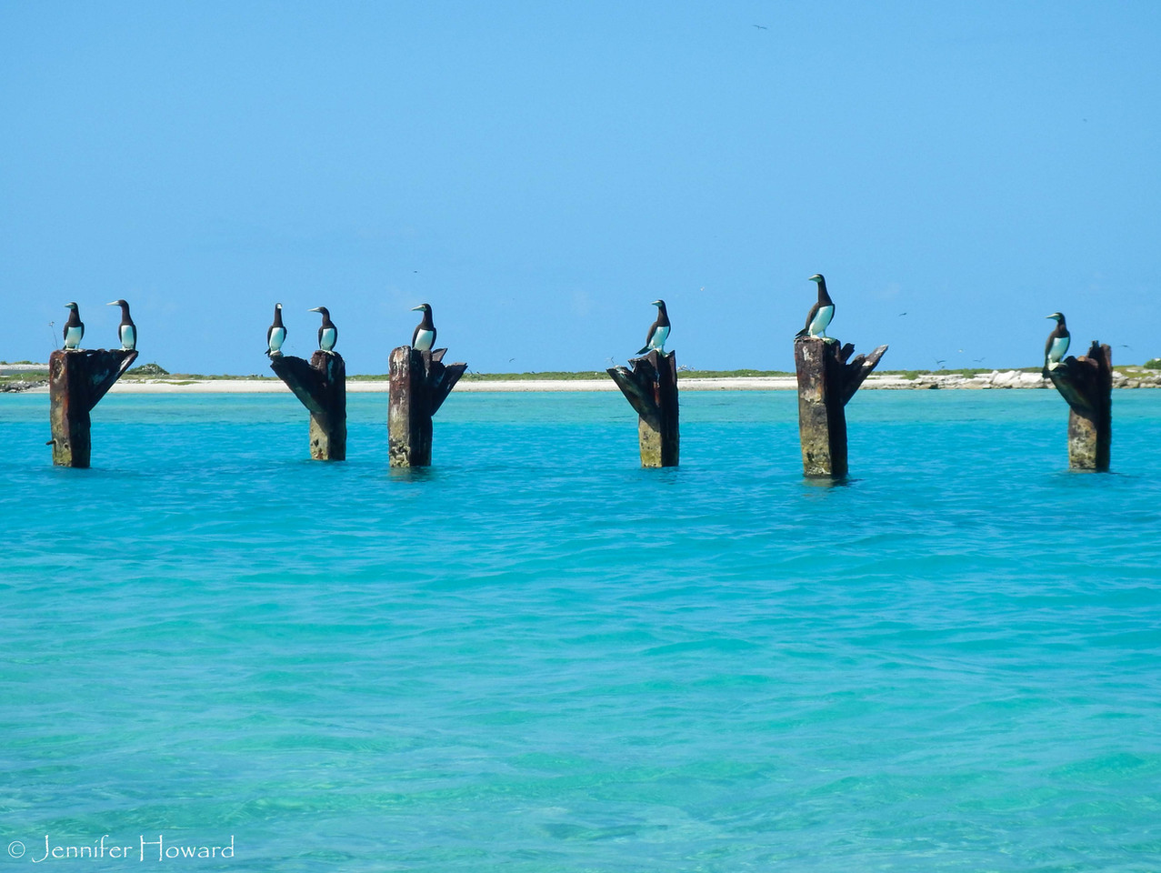 Brown Boobies, Johnston Atoll