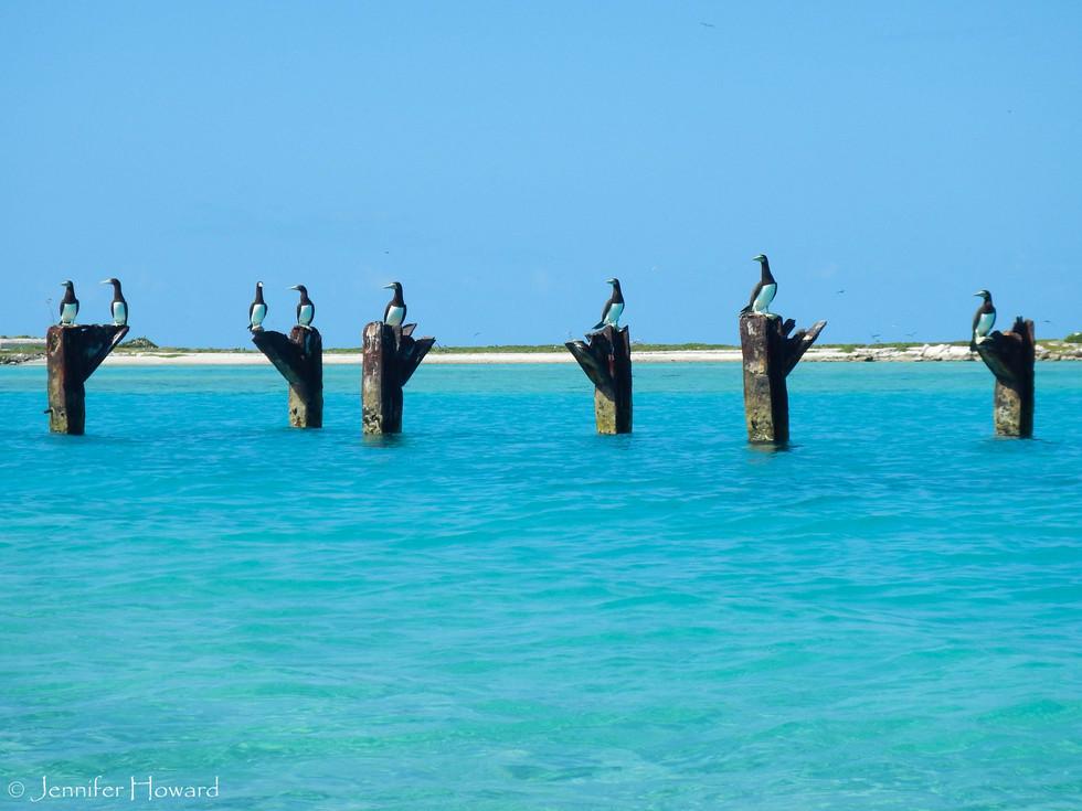 Brown Boobies, Johnston Atoll