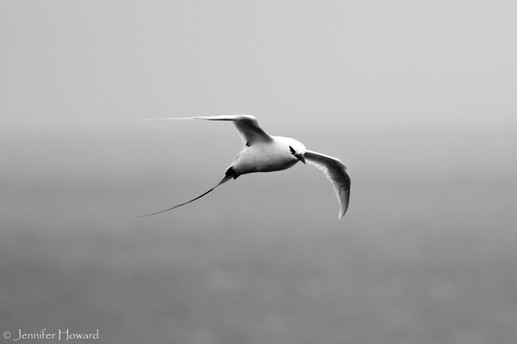 Red-Tailed Tropicbird, Kauai