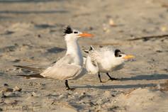 Royal Tern Parent and Chick, North Carolina