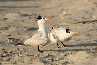 Royal Tern Parent and Chick, North Carolina
