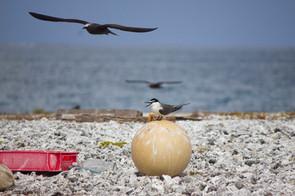 Sooty Tern on Beach Trash, Johnston Atoll