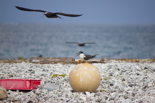 Sooty Tern on Beach Trash, Johnston Atoll
