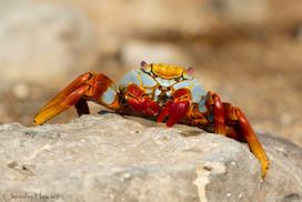Sally Lightfoot Crab, Isla Española