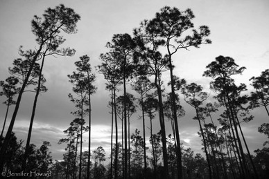 Towering Pines, Florida