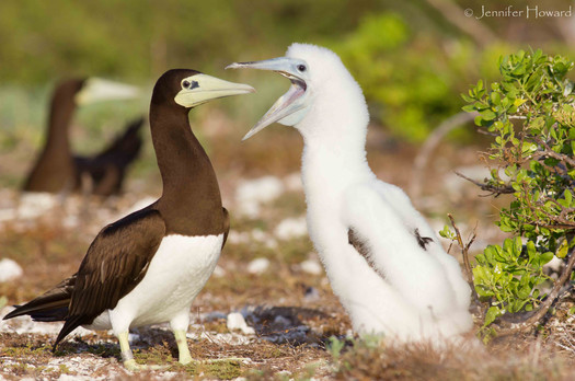 Brown Booby Mother and Chick, Johnston Atoll