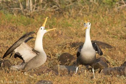 Courting Waved Albatross, Isla Española