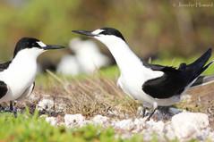 Sooty Tern Pair, Johnston Atoll