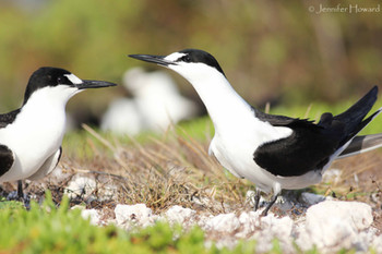 Sooty Tern Pair, Johnston Atoll