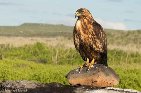 Loafing Juvenile Galápagos Hawk, Isla Española