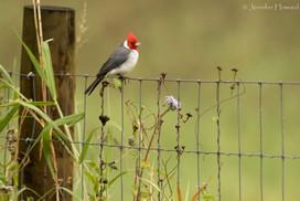 Red-Crested Cardinal, Kauai